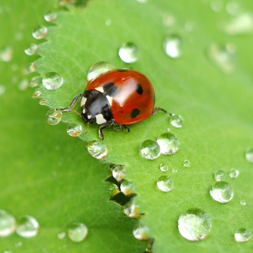 ladybug-on-wet-leaf