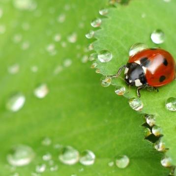 ladybug-on-wet-leaf